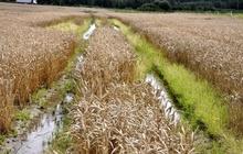 """TOP2: Agronoms Klāvs Zambergs par situāciju uz laukiem: ''Laikapstākļi nemaz nav tādi, kādus mēs vēlētos, uz laukiem ir liels mitrums. Par laimi nav tik traki kā mūsu draugiem Latgalē. Agrajām kviešu šķirnēm ir pats pēdējais brīdis sējai, bet vēlajām šķirnēm laiks vēl ir. Lielas bažas sagādā pupu ražas novākšana. Pagaidām pupu dīgšana pākstīs vēl nav novērota, bet, ja laikapstākļi neuzlabosies, situācija var pasliktināties.'' Ivars Brālēns - tehnikas tirdzniecības un nomas vadītājs: """"Pašlaik visi zemnieki satraukti gaida izmaiņas laikapstākļos. Prieks par to, ka jaunie ''Palesse'' kombaini sevi ir pierādījuši un kuļ graudus pat ar 30% mitrumu, kas pie mums ir netipiski. Šodien (16.09.) dosimies kult pupas, un cerēsim, ka varēs uz lauka uzbraukt.''"""